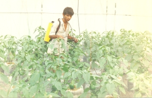 Bell pepper plants need pesticides