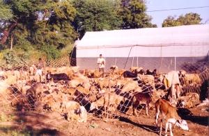 Dhangar sheep in Jugnoo Farms