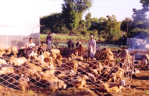 Sheep manure is nutrient rich