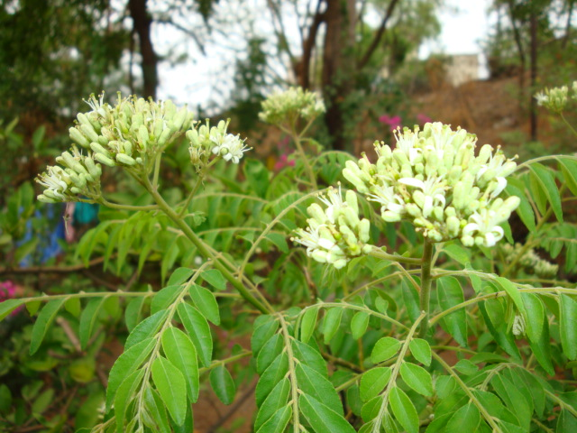 Indian Curry Leaves - health benefits (2/2)