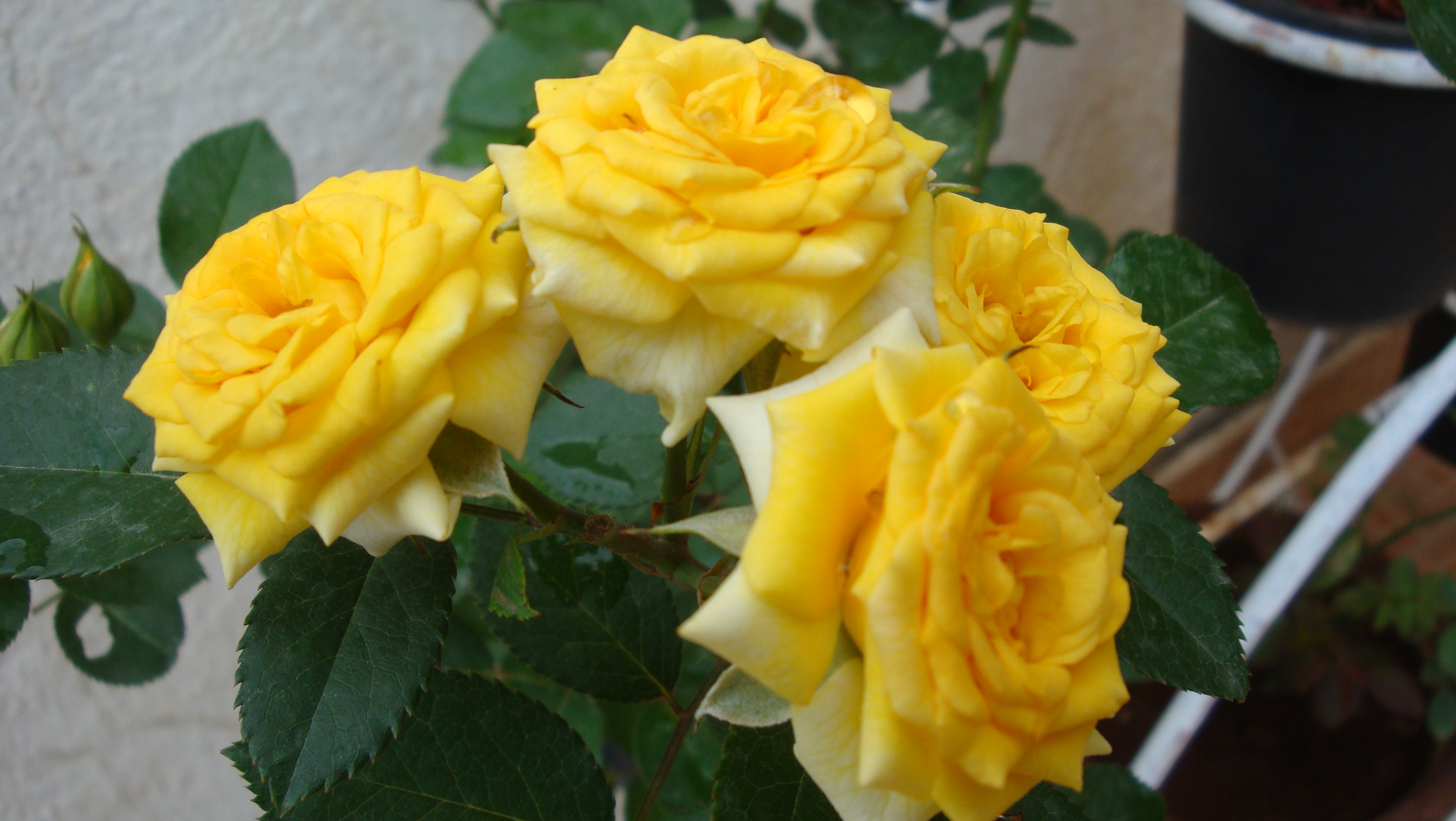 Yellow roses mean i care