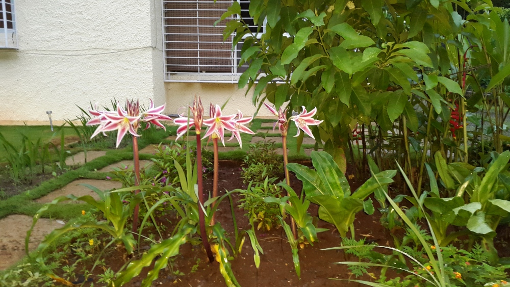 The Colonels Lilies (2/2)