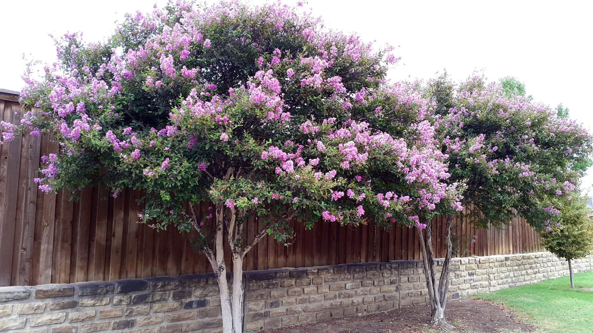 Crepe Myrtle Jugnoo Farms