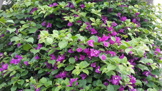 The purple Bougainvela
